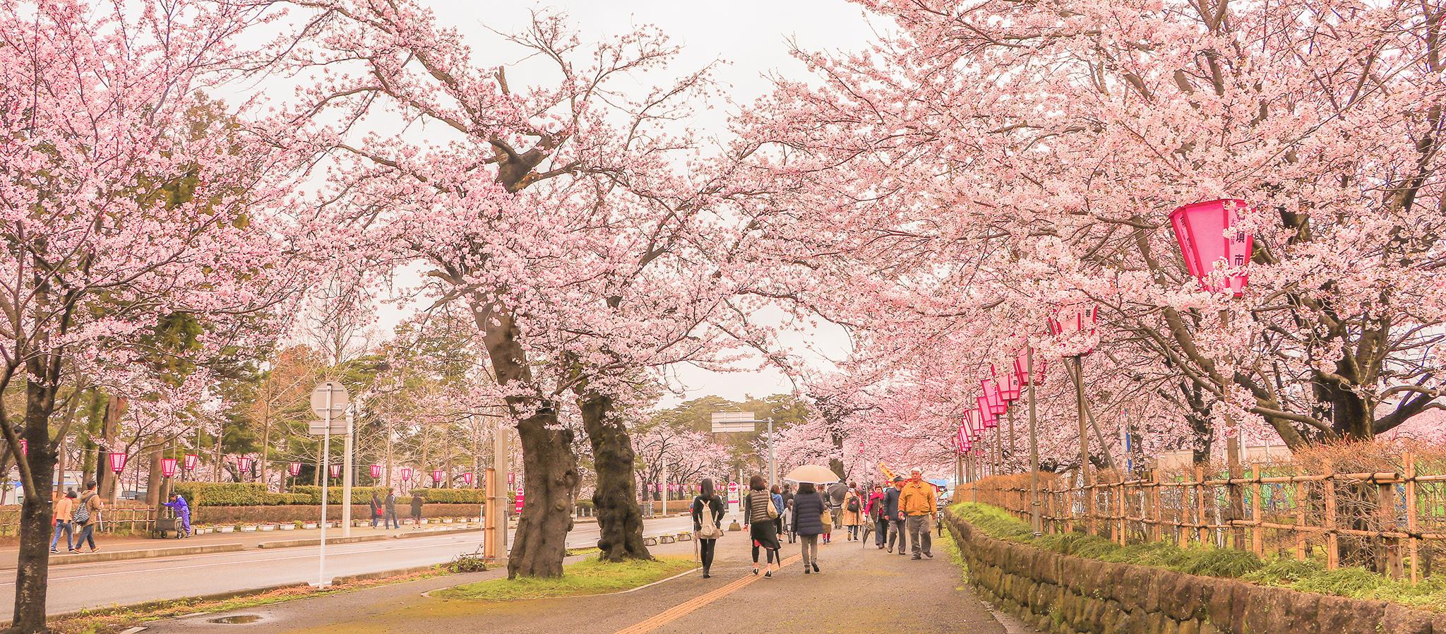 日本新潟 日本北陸「新潟」賞櫻景點 10 選:城堡、公園、櫻花,日夜皆美!