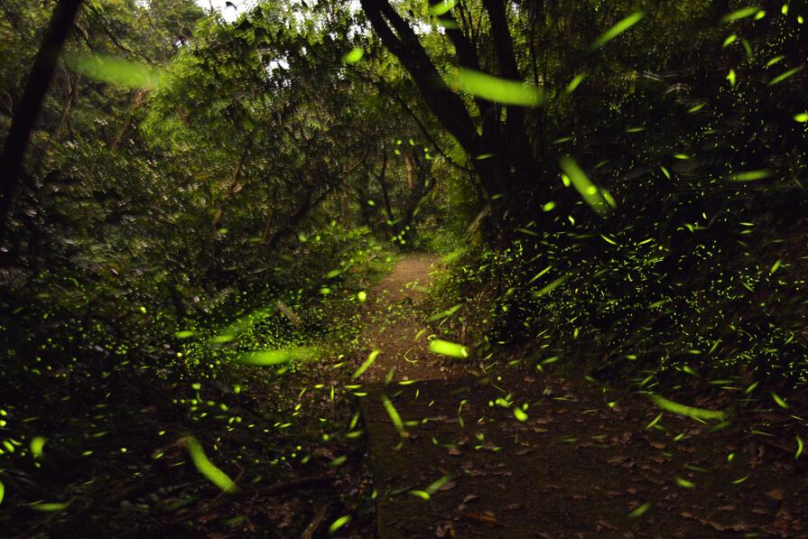 基隆.螢火蟲秘境|龍崗生態園區,屬於步道上的螢光繁星